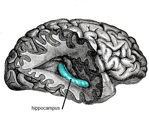 Hipocampus